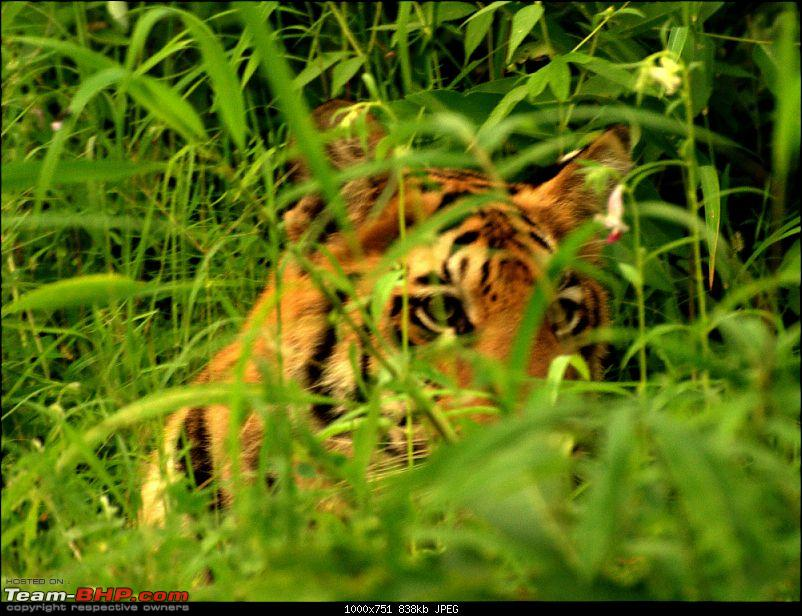 Nobody can assure you a Tiger, and thats the fun of it - Team BHP meet at Tadoba !-male-cubprofile-3.jpg