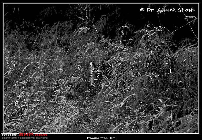 Nobody can assure you a Tiger, and thats the fun of it - Team BHP meet at Tadoba !-cub-greens-deer-vision.jpg