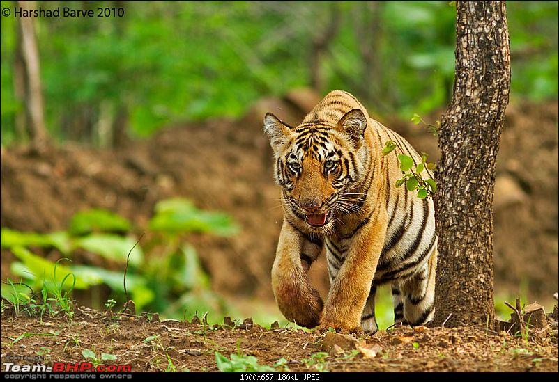 Nobody can assure you a Tiger, and thats the fun of it - Team BHP meet at Tadoba !-14977504564c4517d50b1a5.jpg