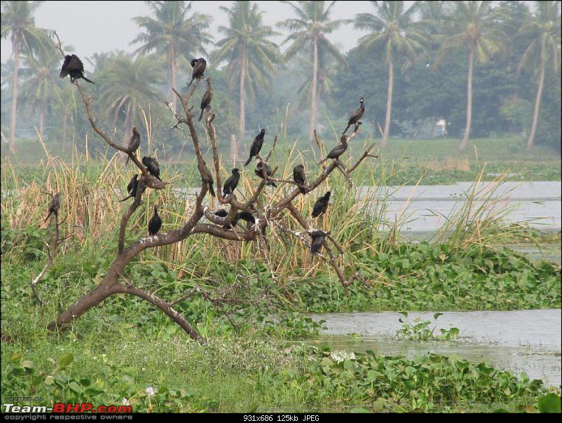 Kolleru lake bird sanctuary - The super sultry avian paradise-28.jpg