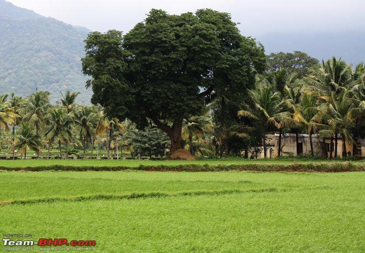 Name:  tamarind tree.jpg Views: 5548 Size:  103.2 KB