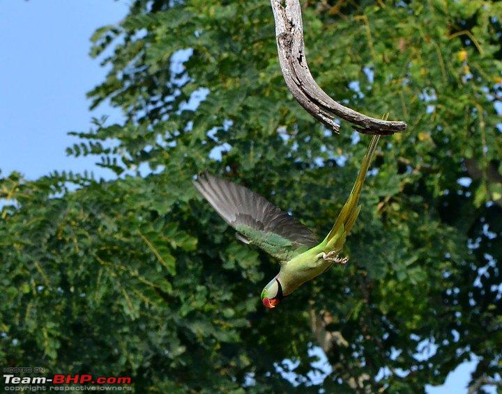 Name:  Diving Alaxandrene Parakeet.jpg Views: 2750 Size:  96.5 KB