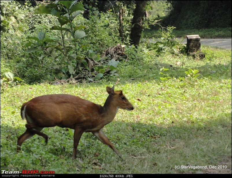 Story of a Vacation II : A page out of Jungle Book & experiencing God's Own Country-394-sambaar-deer-crossing-our-path.jpg