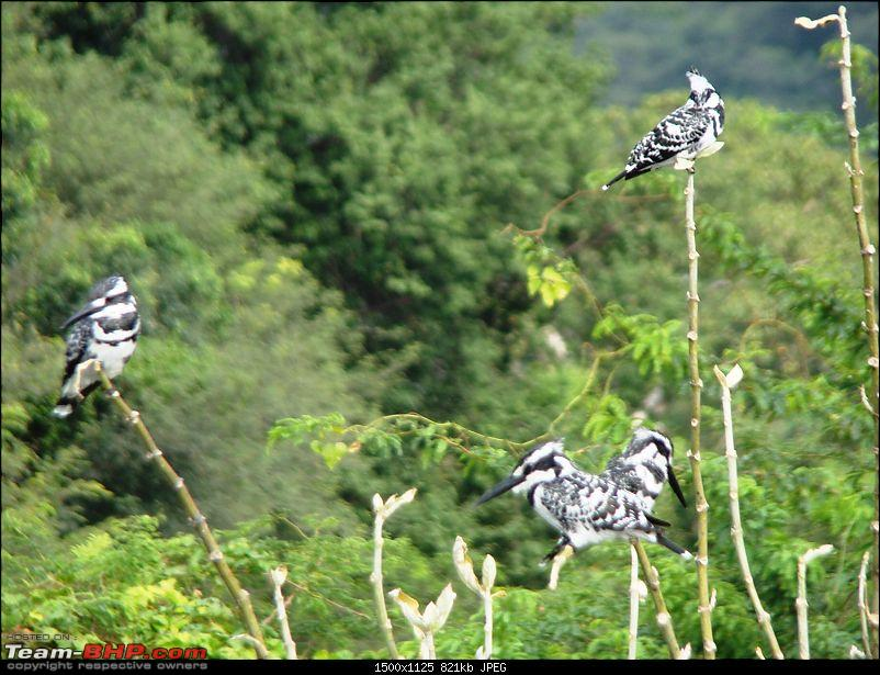 Southern Odyssey : 5000 kms through South India-13-hogenakkal-4-kingfishers-.jpg