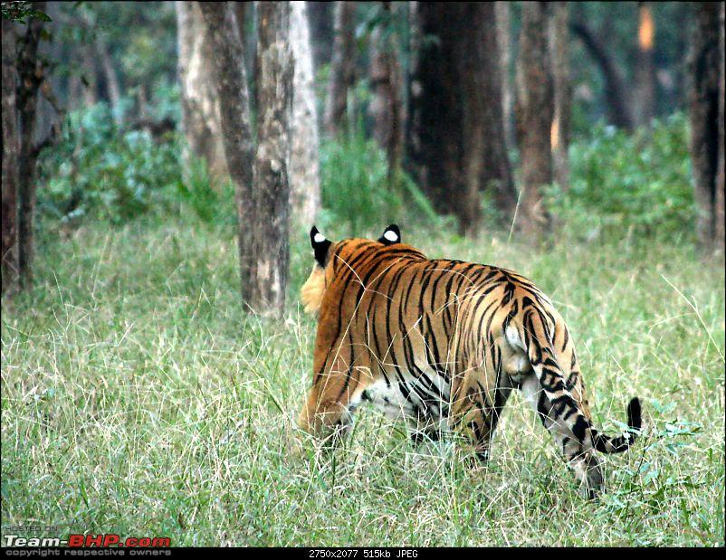 Pench Tiger Reserve - New season starts with a Bang !!!-img_2117rear-left.jpg