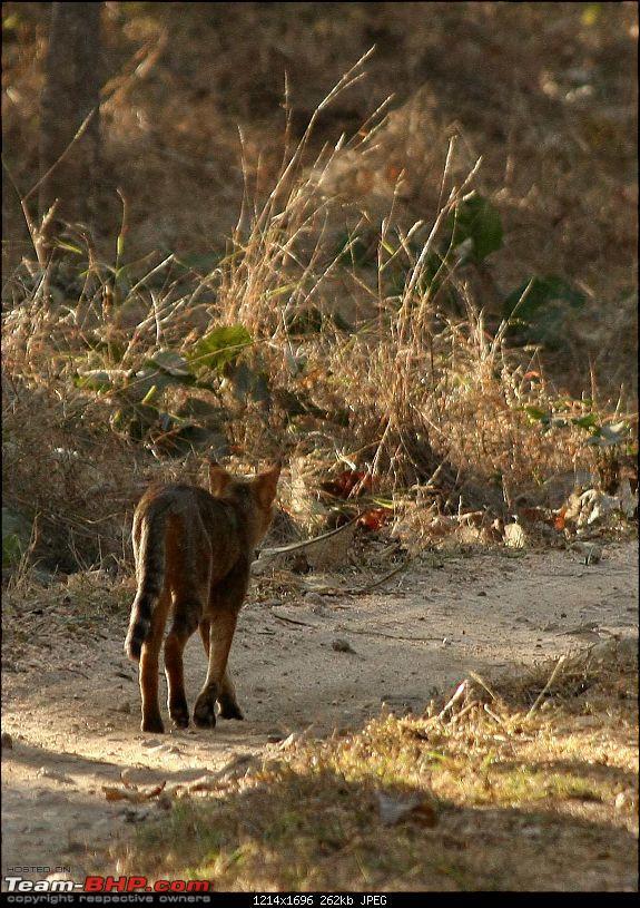 Pench Tiger Reserve - New season starts with a Bang !!!-tigerish2.jpg