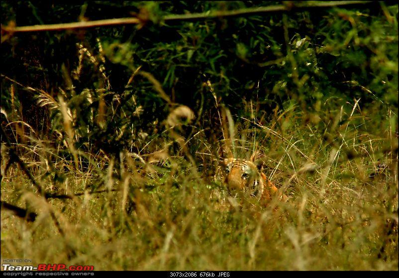 Magical Bandhavgarh : A group visit cum study tour to a high density Tiger reserve-mahawant-cub-record-shot2img_4075.jpg