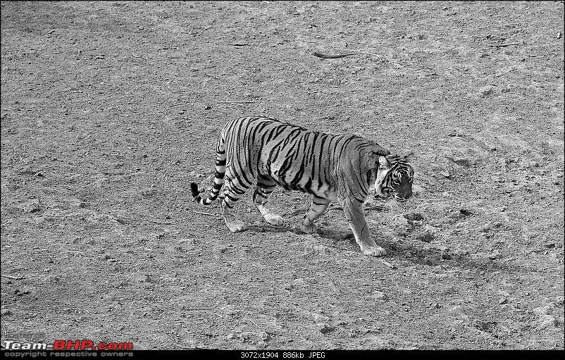 Gurgaon - Sariska - Gurgaon - Phew...Finally sighted one of the Tiger Cubs of ST2-3610a.jpg