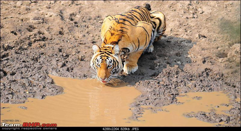 Gurgaon - Sariska - Gurgaon - Phew...Finally sighted one of the Tiger Cubs of ST2-3616.jpg