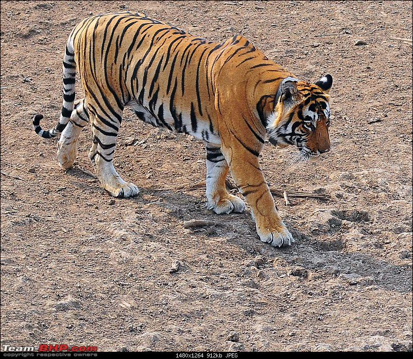 Gurgaon - Sariska - Gurgaon - Phew...Finally sighted one of the Tiger Cubs of ST2-3652.jpg