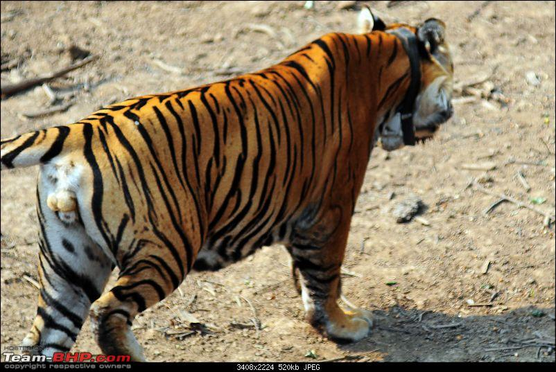 Gurgaon - Sariska - Gurgaon - Phew...Finally sighted one of the Tiger Cubs of ST2-3689.jpg