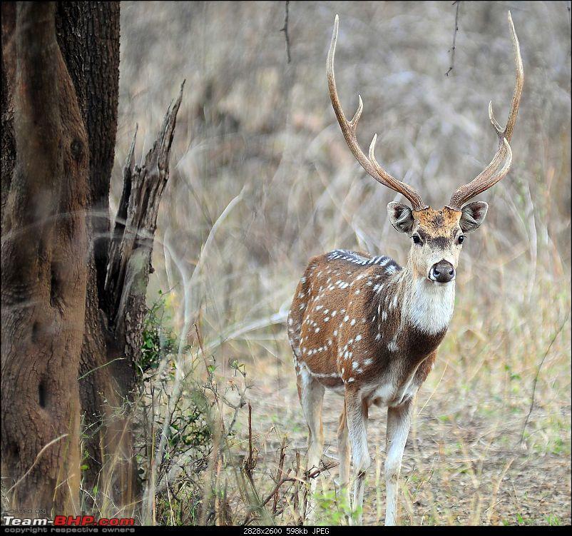Gurgaon - Sariska - Gurgaon - Phew...Finally sighted one of the Tiger Cubs of ST2-3860.jpg