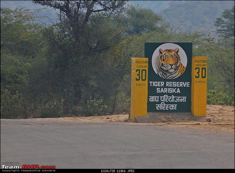 Gurgaon - Sariska - Gurgaon - Phew...Finally sighted one of the Tiger Cubs of ST2-sariska-large.jpg