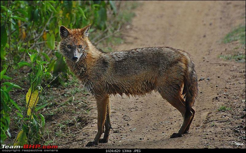 Gurgaon - Sariska - Gurgaon - Phew...Finally sighted one of the Tiger Cubs of ST2-jackal-large.jpg