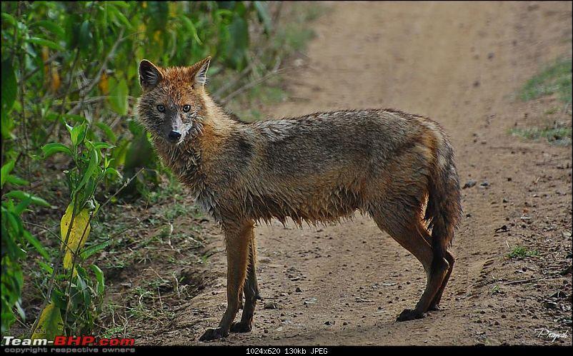 Gurgaon - Sariska - Gurgaon - Phew...Finally sighted one of the Tiger Cubs of ST2-jackal-large.jpg