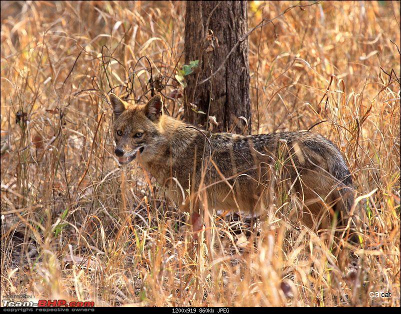 Pench Tiger Reserve - New season starts with a Bang !!!-img_0140.jpg