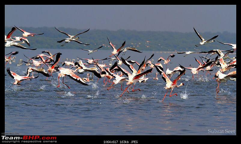 Flamingoes - Flame Birds of Airoli, Navi Mumbai-flamingoes1094-1024x768.jpg