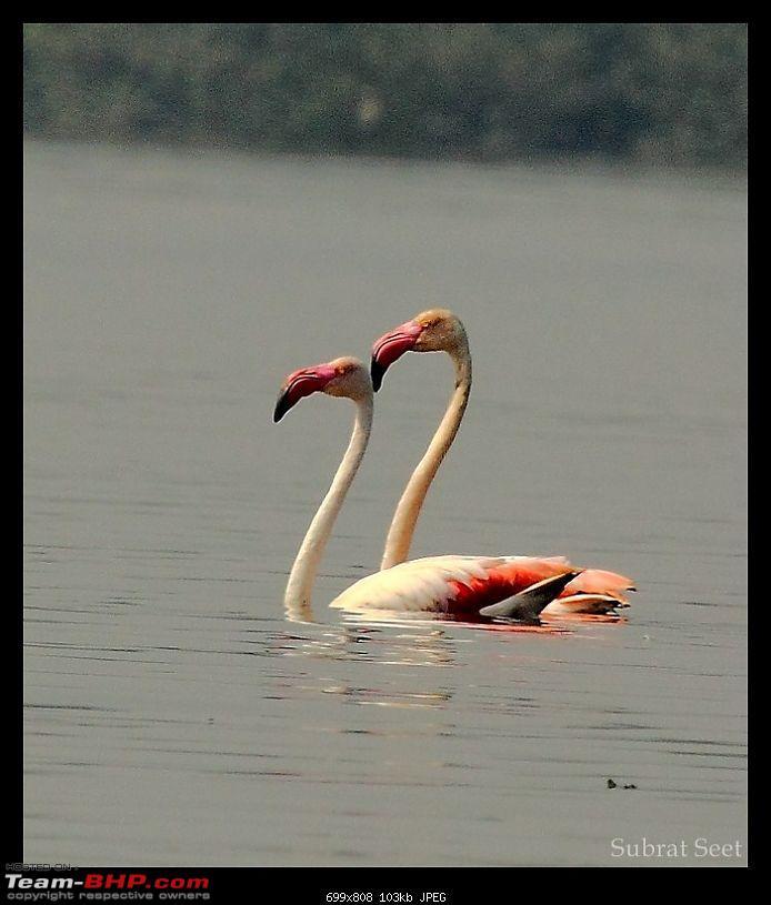 Flamingoes - Flame Birds of Airoli, Navi Mumbai-subrat2-1024x768.jpg
