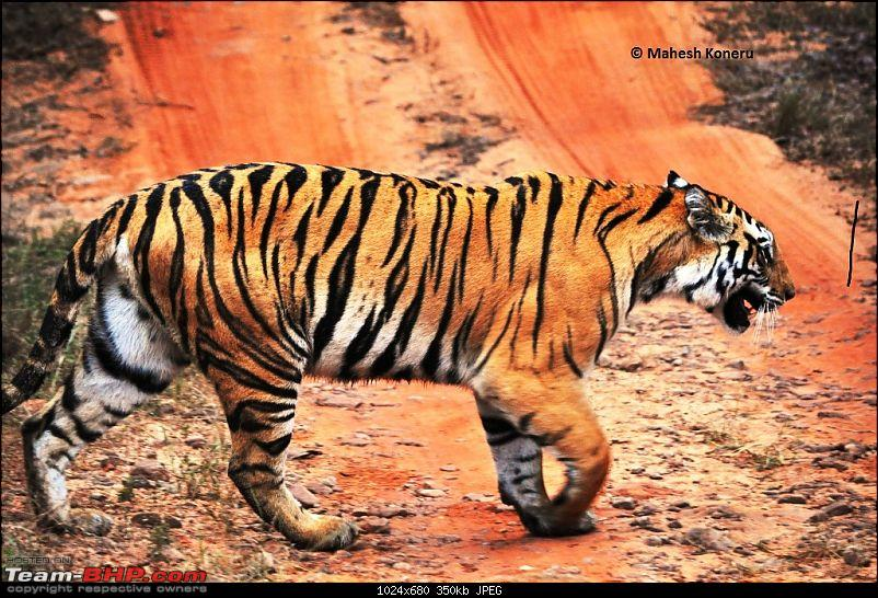 Trailing the Big Cat at Bandhavgarh-bandhavgarh.jpg
