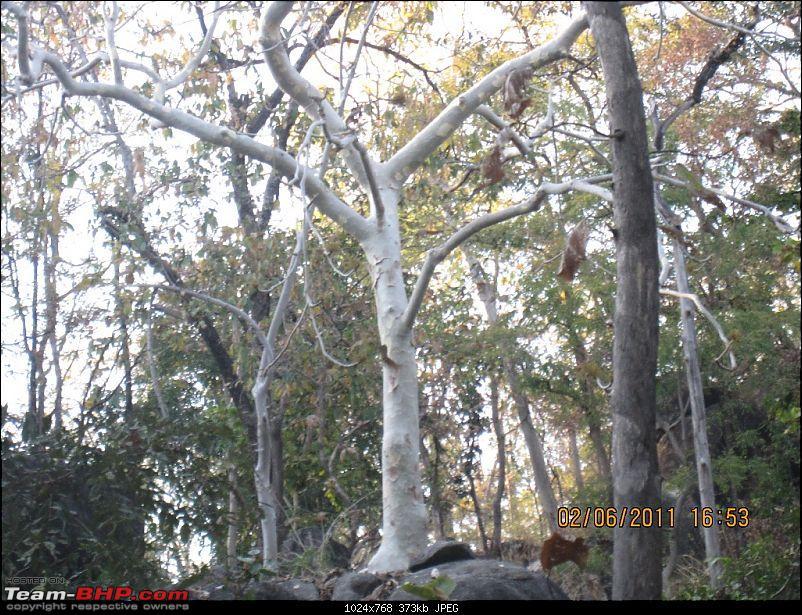 'Getz'ing away: Hyderabad - Nagpur - Kanha - Pench-39.white-queen-forest.jpg
