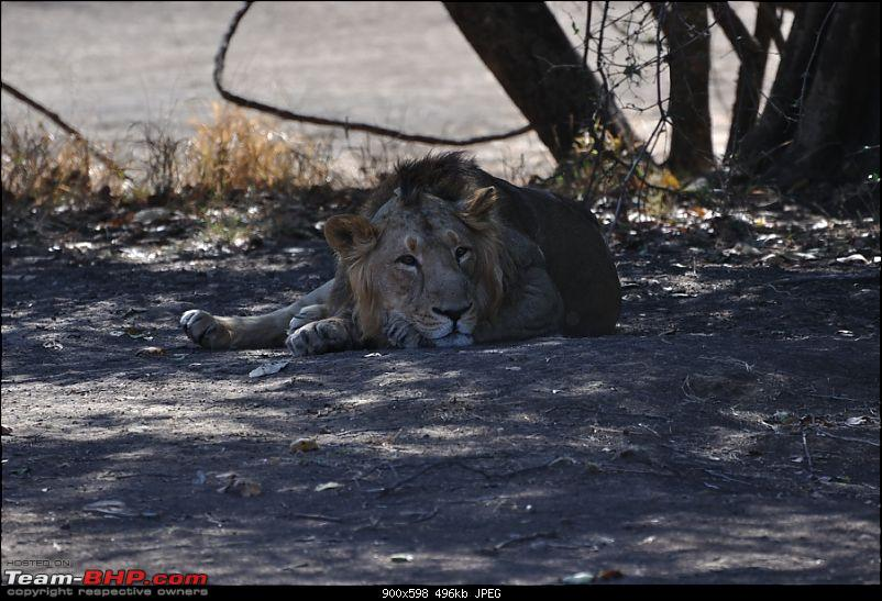 �Sasan Gir� � The Last Home to Asiatic Lion-girnp-28.jpg