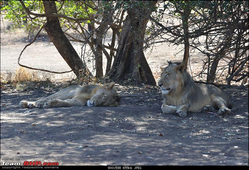 """Sasan Gir"" – The Last Home to Asiatic Lion-girnp-34.jpg"