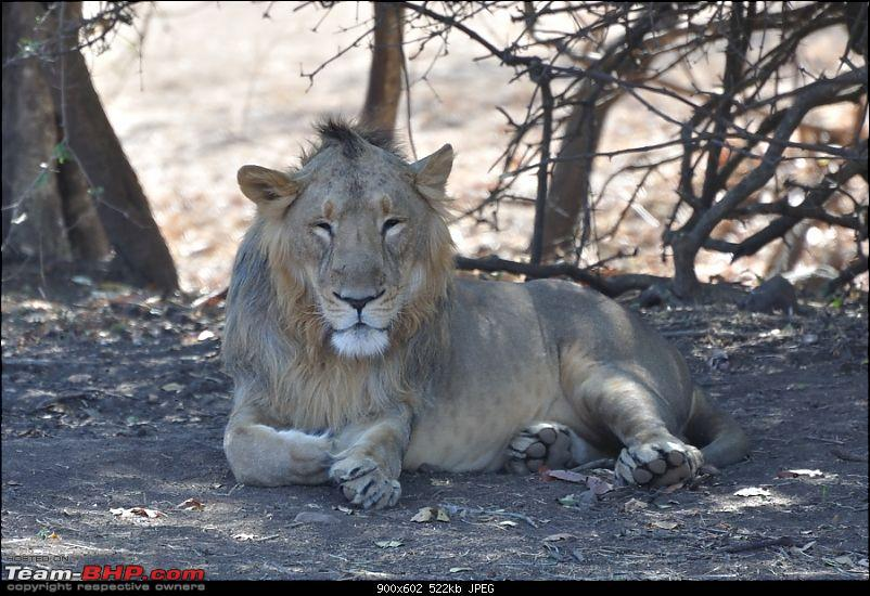 """Sasan Gir"" – The Last Home to Asiatic Lion-girnp-41.jpg"