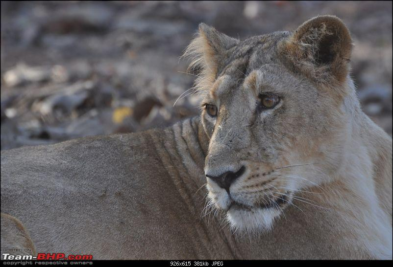 �Sasan Gir� � The Last Home to Asiatic Lion-girnp-246.jpg