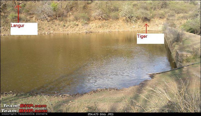 Mission Spot a Tiger @ Sariska - Project Tiger Reserve, Attempt No - 2-23032011366.jpg