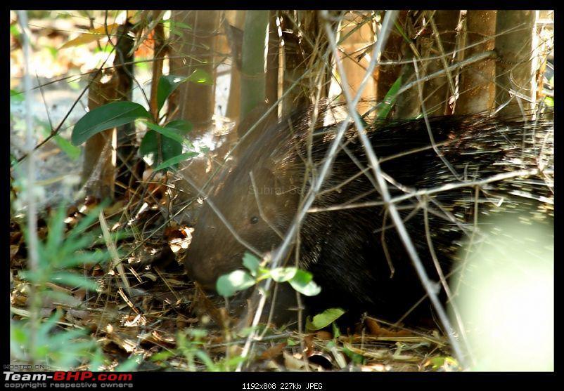 Trailing the Big Cat at Bandhavgarh-porcupine123-1280x768.jpg