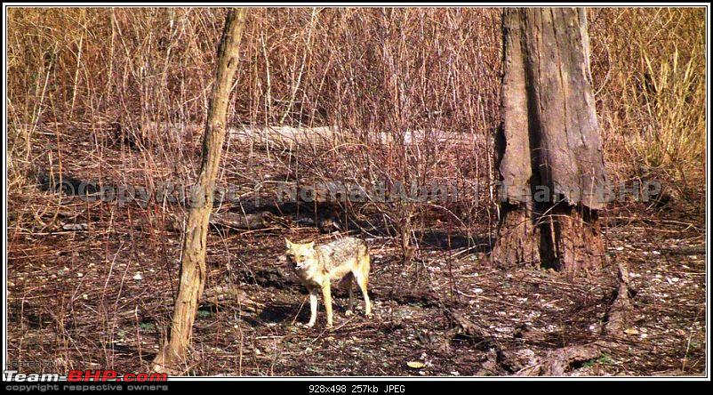 For how long we will be able to see Pench...?-12jackal.jpg