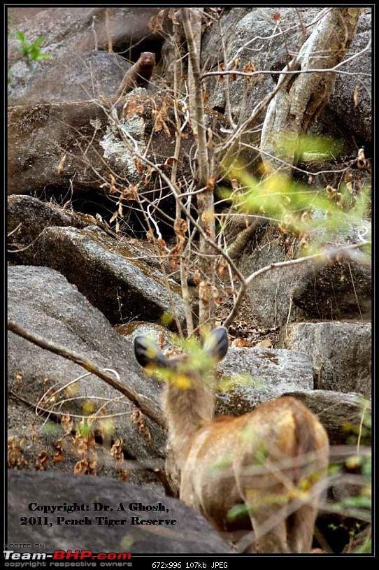 Pench Tiger Reserve - New season starts with a Bang !!!-face-off.jpg