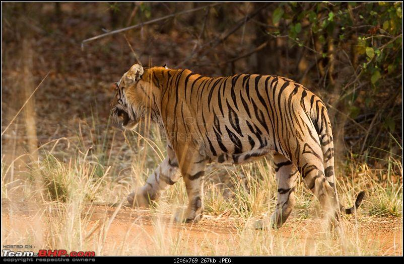 Two Men & A Baby - In Search Of The Stripes-mp-tiger-hunt-78.jpg