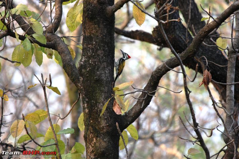 Name:  Golden back woodpecker 1 Medium.jpg