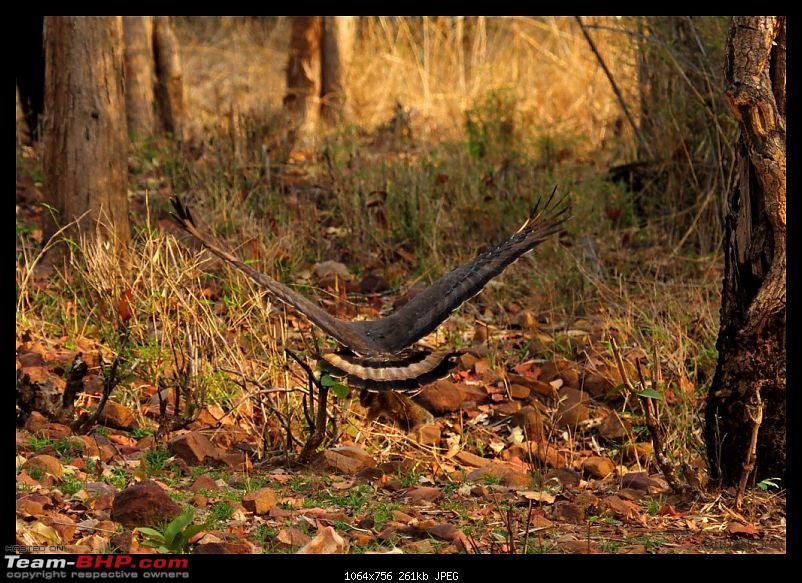 Tadoba Andhari Tiger Reserve - Rocking-tadoba-day-2-mor14-1024x768.jpg