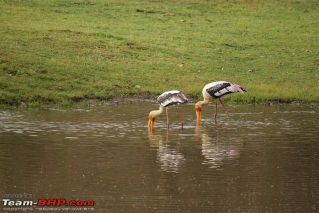 Name:  Painted Stork 2 Small.JPG