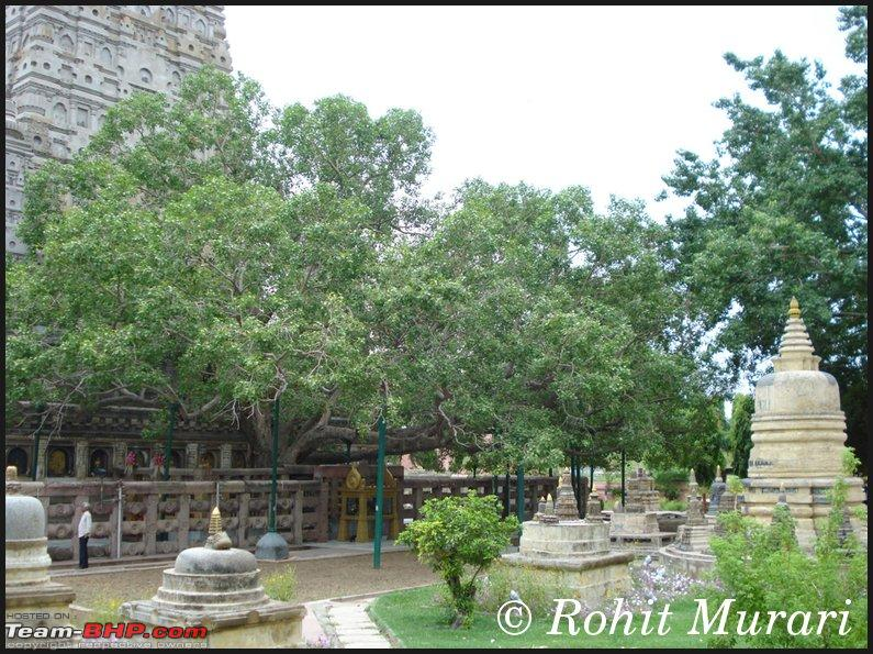 Name:  bodhiTree03.jpg