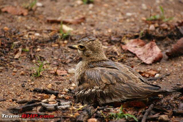 Name:  Thick Knee 5 Small.JPG Views: 971 Size:  61.1 KB