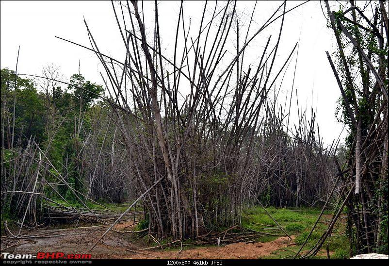 Fauji's Drivologues – Chasing Mango showers in WAYANAD and MALNAD!-bamboo1.jpg