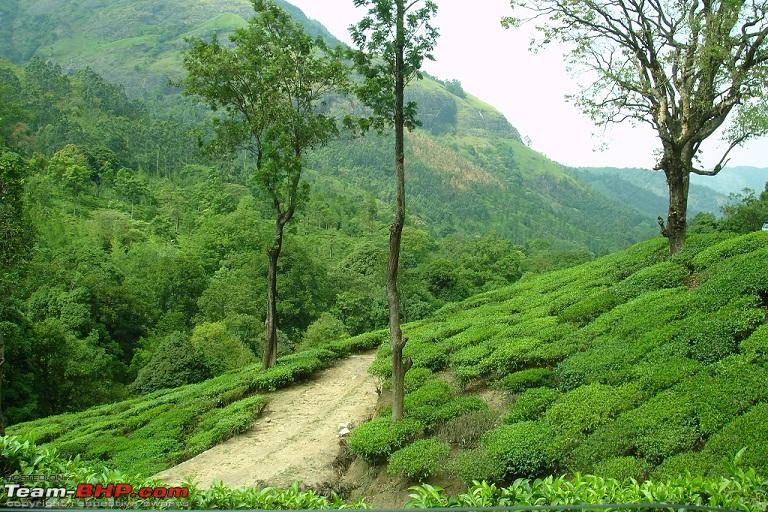 Name:  Another Tea Estate.JPG
