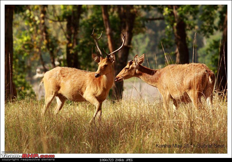 Adventure in Kipling Country - Kanha National Park-kanha-bara-singha205-1024x768.jpg