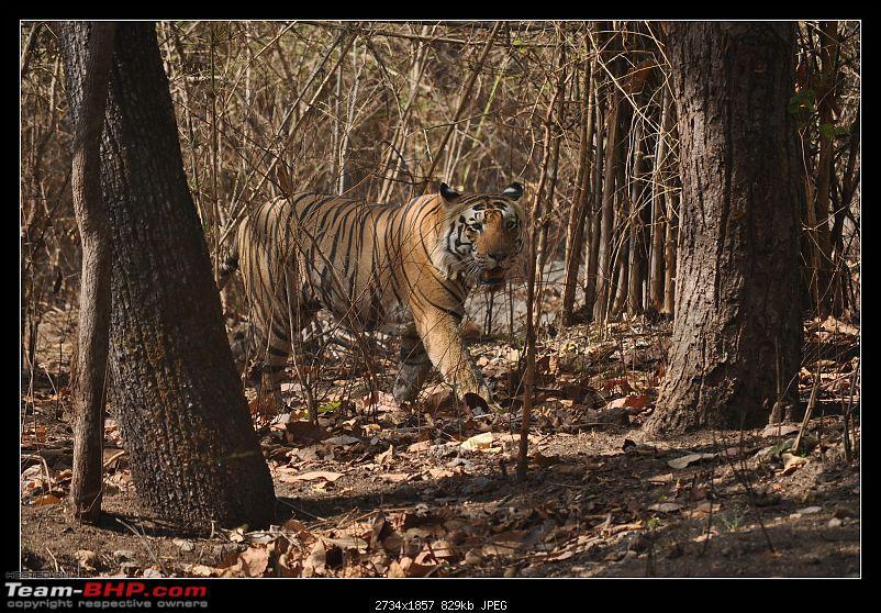 A Nikon D5000 in the land of the tiger - Kanha National Park visit.-dsc_0350.jpg