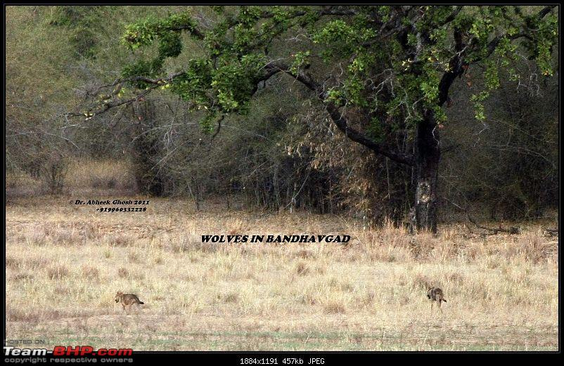 Call of the Wild: A 3500 km roadtrip to Pench, Bandhavgarh and Kanha in a Fortuner-img_3329wolves.jpg