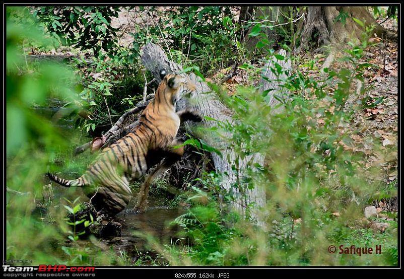 Audacity of a Tiger: Next generation raising hope–My spectacular 4 days at Bandhavgar-_dsc4521.jpg