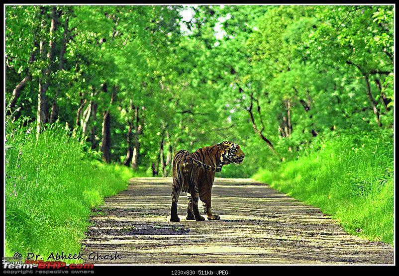 Tadoba Tiger Resrve - Restarting explorations with a Bang !!-looking-back.jpg