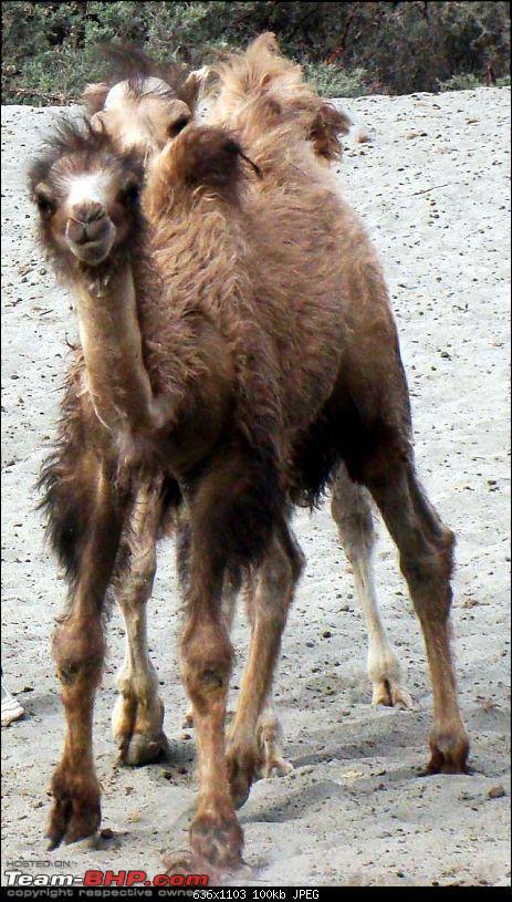 Hawk-On-Fours® (H-4®) Roadtrip:  Leh(t)'s go to Ladakh & Srinagar with QuickSilver.-camels-6.jpg
