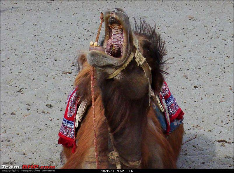 Hawk-On-Fours® (H-4®) Roadtrip:  Leh(t)'s go to Ladakh & Srinagar with QuickSilver.-camels-9.jpg