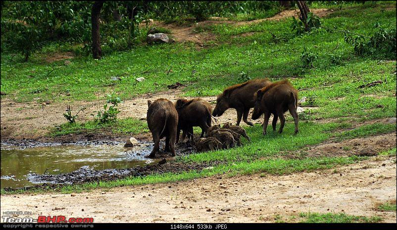 Sariska Tiger Reserve - Land of Tigers? Quick getaway from Gurgaon-boar-family-going-their-swimming-pool.jpg