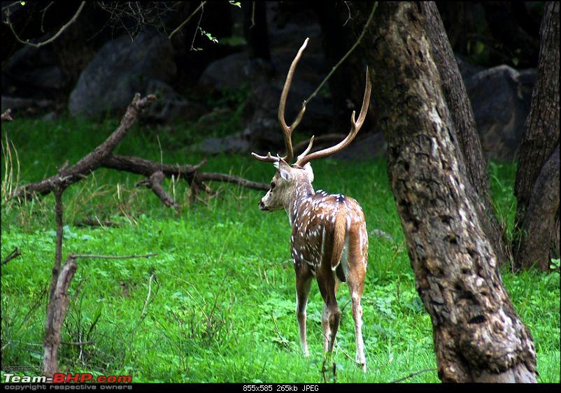 Sariska Tiger Reserve - Land of Tigers? Quick getaway from Gurgaon-spotted-deer-stag3.jpg