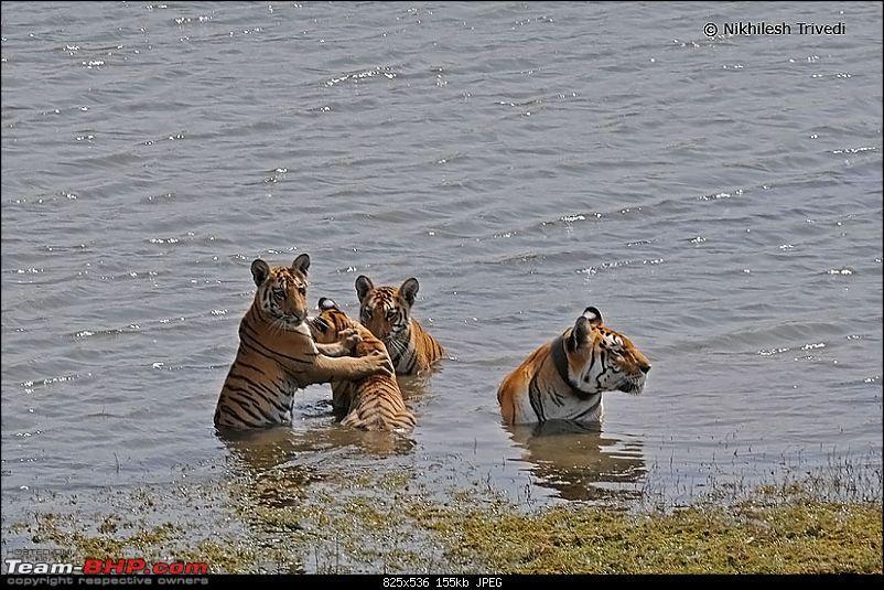 Pench Tiger Reserve - New season starts with a Bang !!!-17188867404e2ceb962080d.jpg